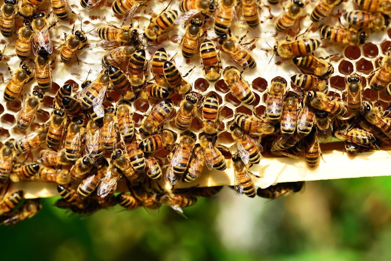 honey-bees-401238_1280
